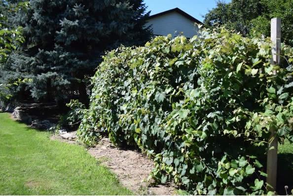 landscape portfolio - Natural Vine Wall